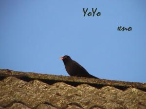 fågelpåtaklottayoyo